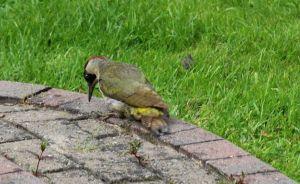 Green Woodpecker r